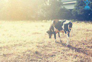 شیر گاو tamrino.ir