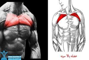 عضله بالا سینه