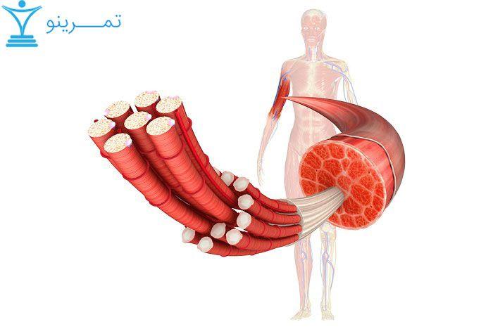 فیبرهای عضلاتی