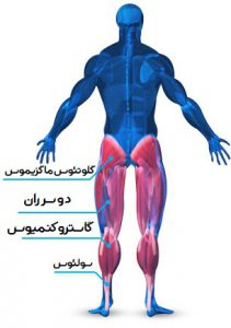 عضله گلوتئال (سرینی) (Gluteal)