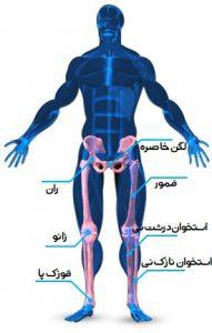 عضله چهار سر ران
